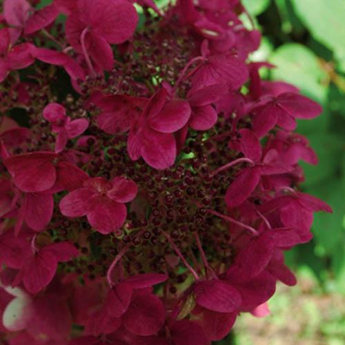 Hydrangea paniculata Wims Red