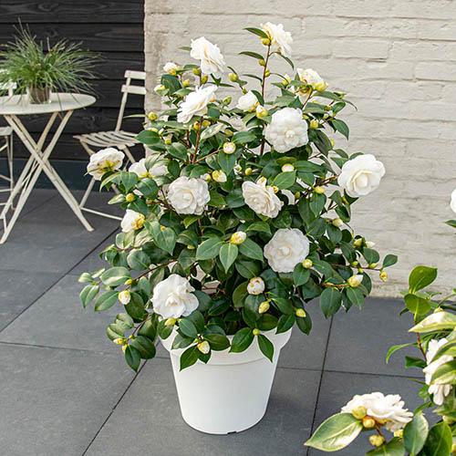Camellia japonica Nuccio's Gem