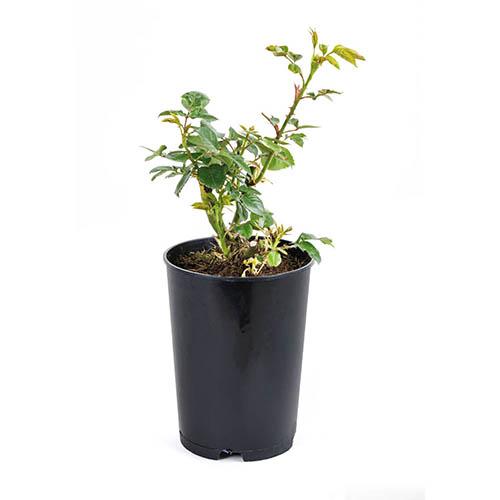 Gift Rose Golden Wedding