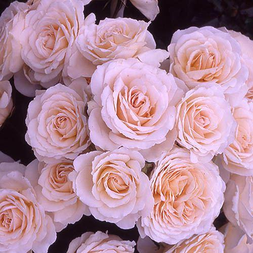 Gift Rose Happy Birthday