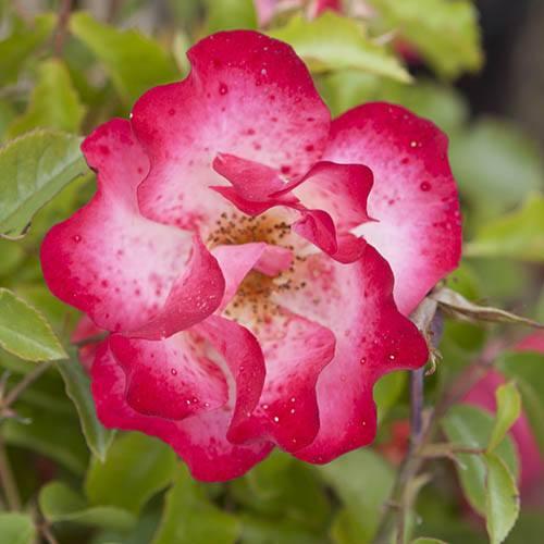 Gift Rose Birthday Girl
