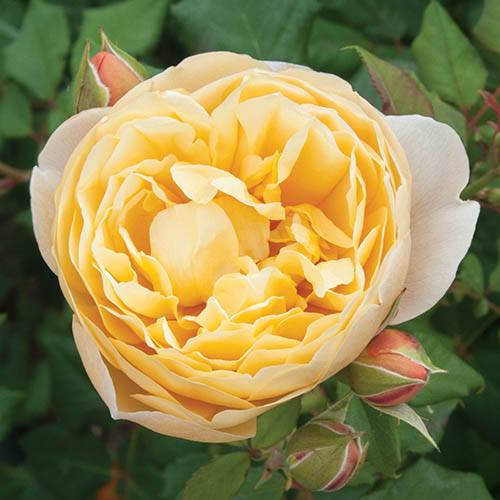 Classic Old English Shrub Rose Collection