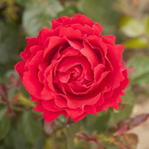 Gift Rose Ruby Anniversary