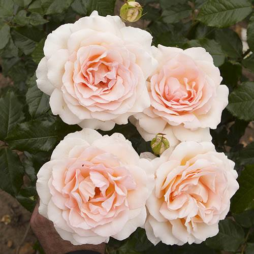Rose Chandos Beauty