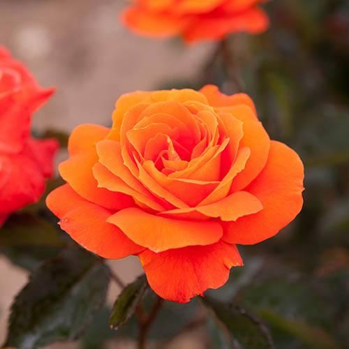 Standard Rose Doris Tysterman