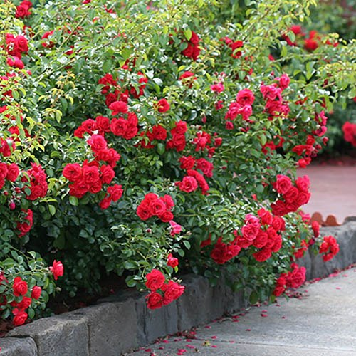 Groundcover Rose Flower Carpet Scarlet