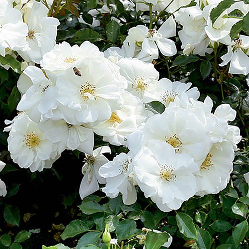 Groundcover Rose Flower Carpet White
