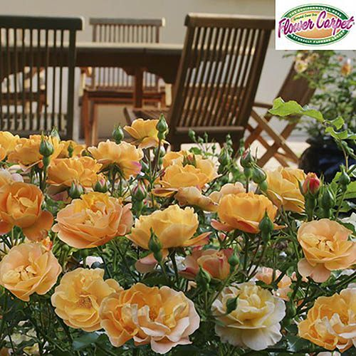 Groundcover Rose Flower Carpet Gold