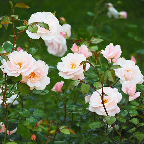 Mini Climbing Rose Little Rambler 3L
