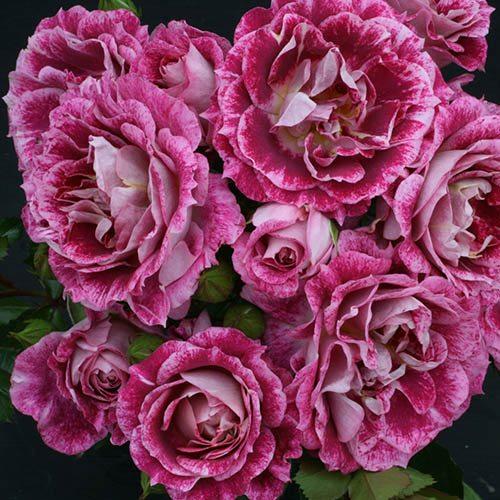 Rose Lets Celebrate