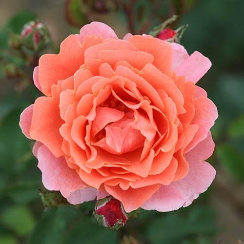 Climbing Rose Ali Baba