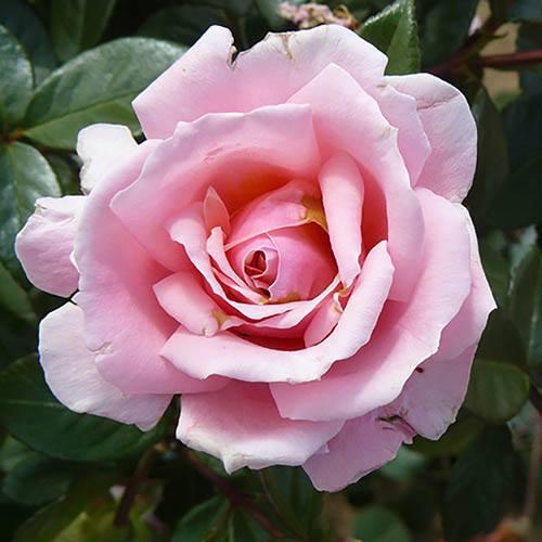 Rose Full Standard English Princess potted 1.2M tall