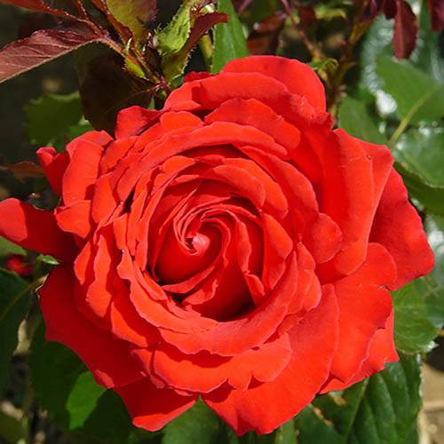Rose Full Standard Carris potted 1.2M tall