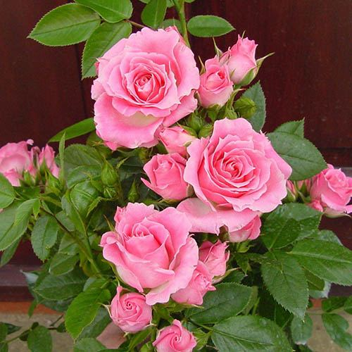 Patio Rose 'Carefree Days'