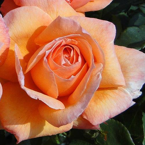 Rose of the Year 2014 Lady Marmalade