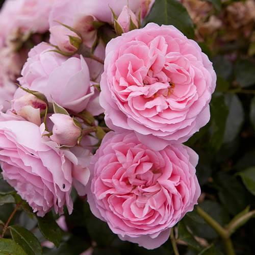 Rose Comte de Chambord