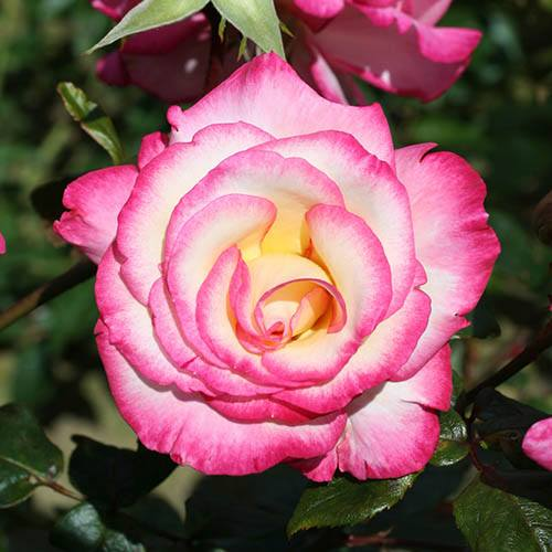 Climbing Rose Handel