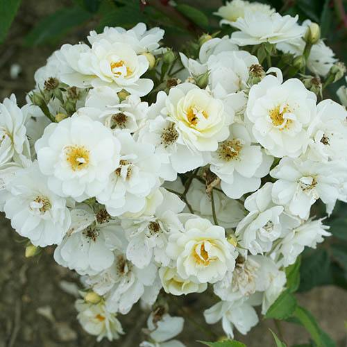 Climbing Rose Rambling Rector