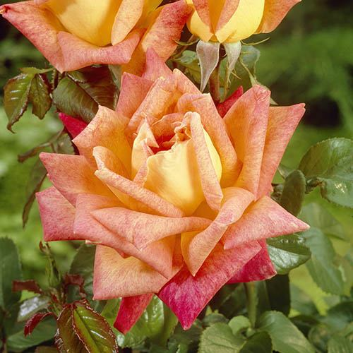 The 'Best Ever' Hybrid Tea Rose Bush Collection