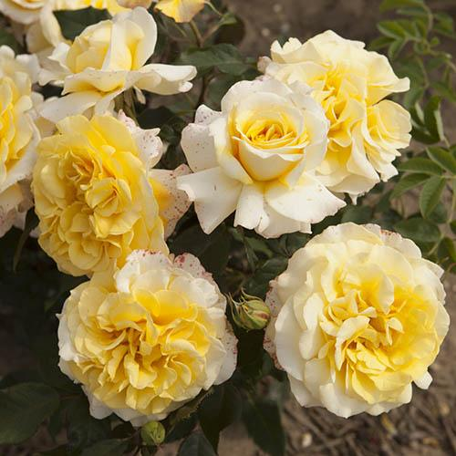 Rose of the Year 2016 Sunny Sky