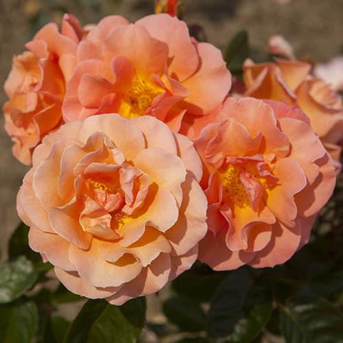 Rose Scent from Heaven Rose of Year 2017