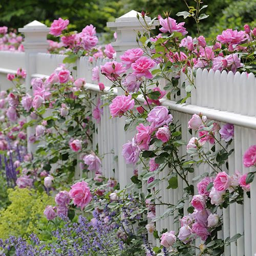Pair of Pink Climbing Roses on Trellis