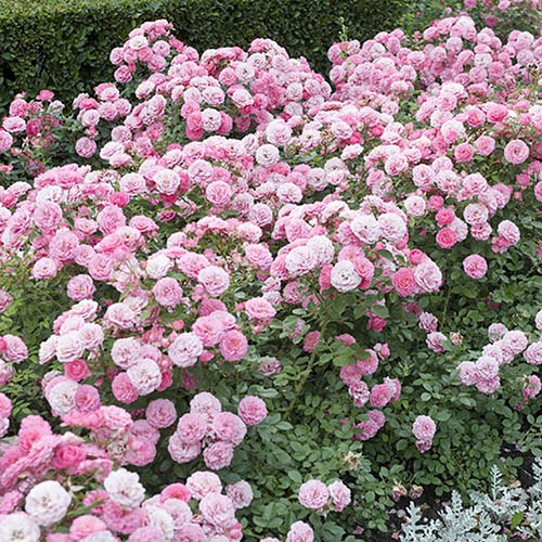 Classic Groundcover Rose Collection