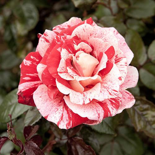 Rose Raspberry Ripple Papageno
