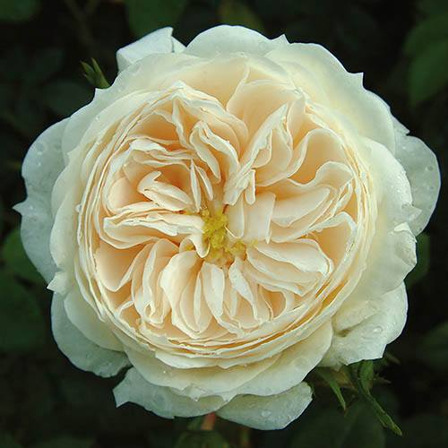 Premium Rose Macmillan Nurse