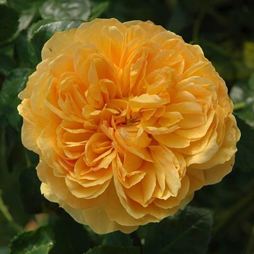 Premium Rose Leah Tutu
