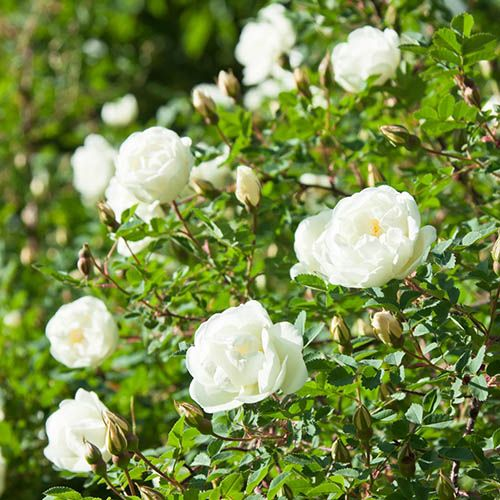 Old English Shrub Rose Blush-White