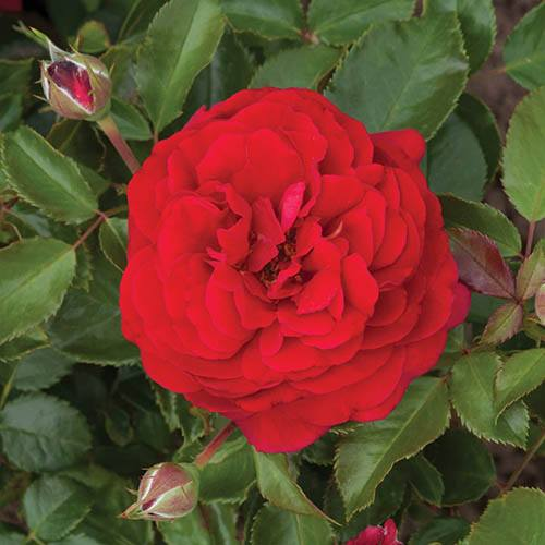 Old English Shrub Rose Red