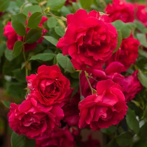 Old English Shrub Rose Red