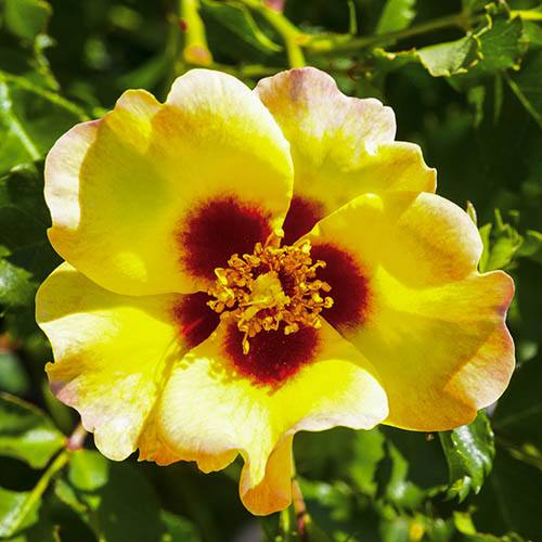 Babylon Eyes Bush Rose Collection