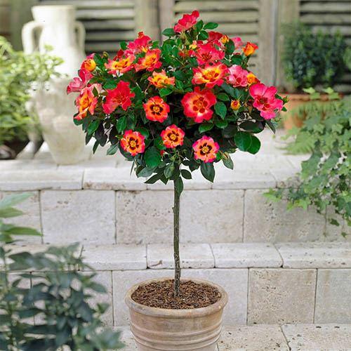 Rose Babylon Eyes Coral 60cm stem potted 4L