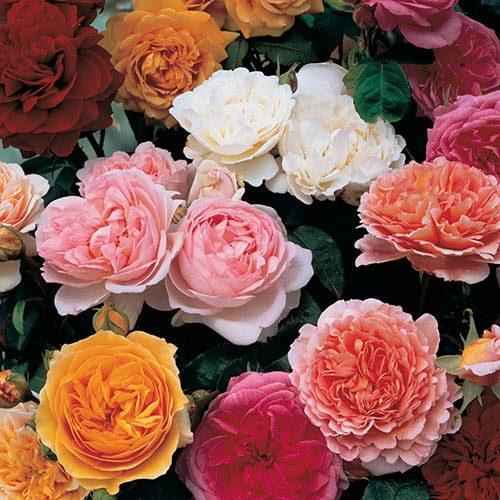 Classic Shrub Rose collection 3 x 3L