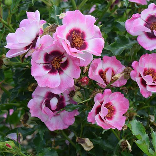 Pink Babylon Eyes Rose Half Standard