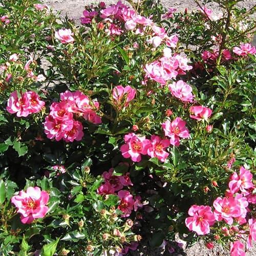 Rose Babylon Eyes Queen Pink