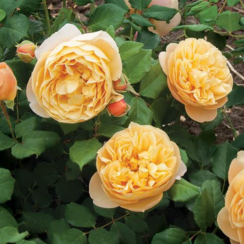 Pair of Old English Climbing Roses