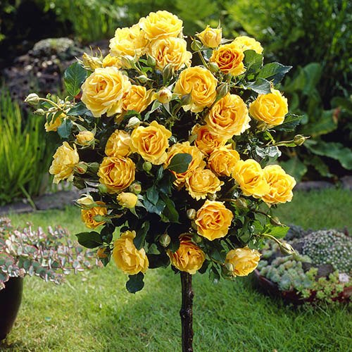 Pair of Yellow Patio Standard Roses
