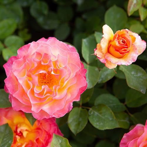 Rose Gorgeous