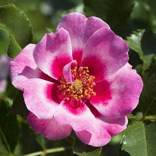 Babylon Eyes Bush Rose Collection
