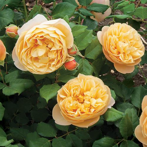 Classic 'Old English' Shrub Rose Collection
