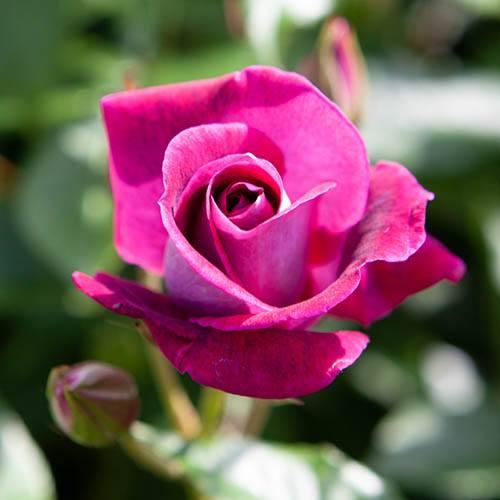 Rose Burgundy Ice in 3L Pot