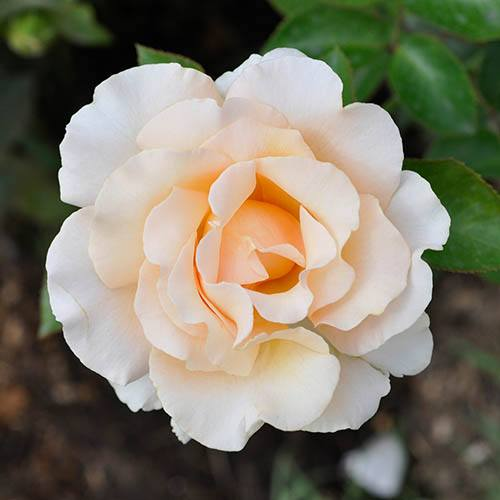 Rose 'Pride and Prejudice'