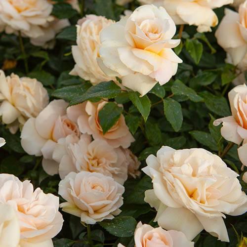 Rose Pride and Prejudice