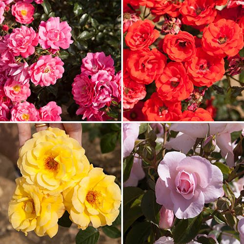Indoor/Outoor Rose Collection - 4 Colours