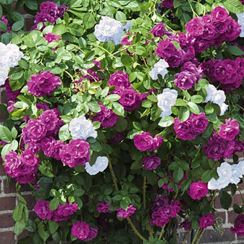 Duo Climbing Rose Mystery Wonder