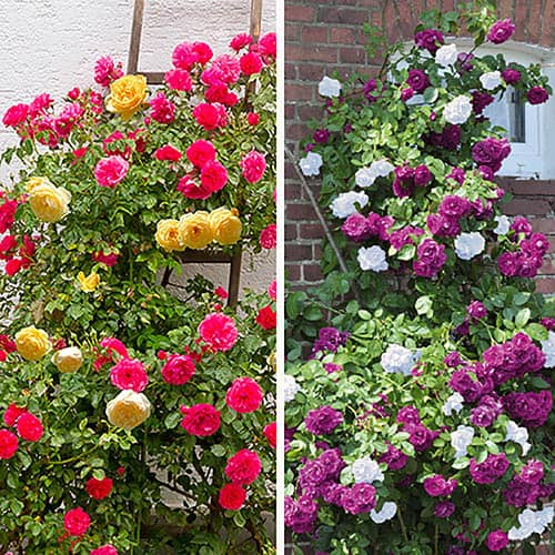 Duo Climbing Roses Set Of 2 Yougarden