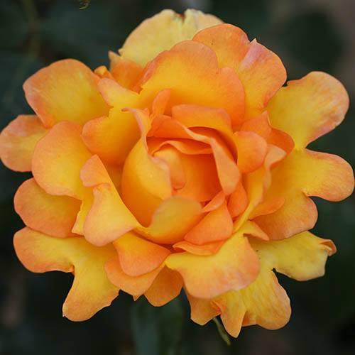 Rose Eureka